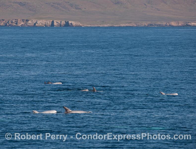 Risso's Dolphins (<em>Grampus griseus</em>) with the west end of Santa Cruz Island in the back.
