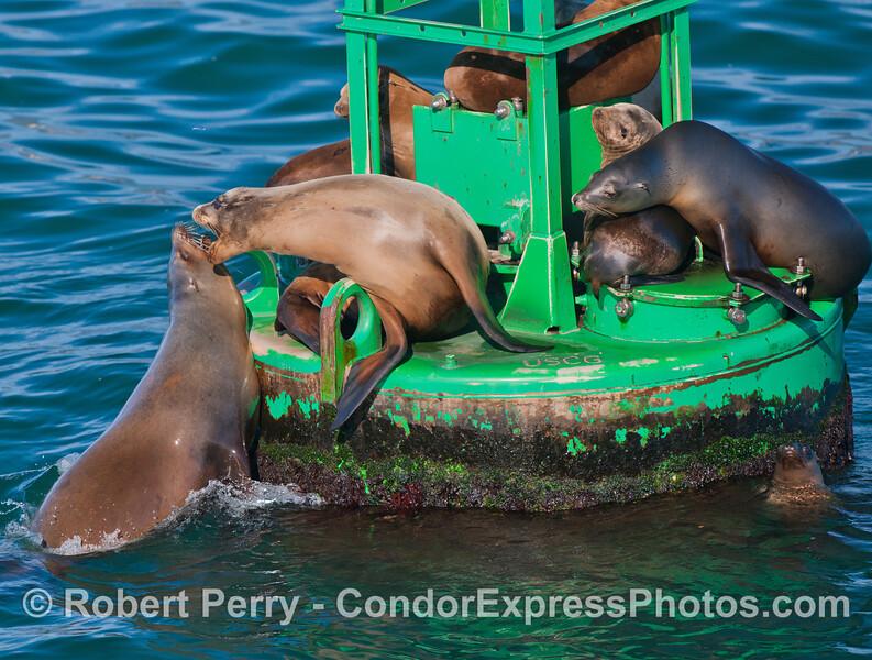 California Sea Lions (<em>Zalophus californianus</em>) on the Santa Barbara Harbor entrance buoy.