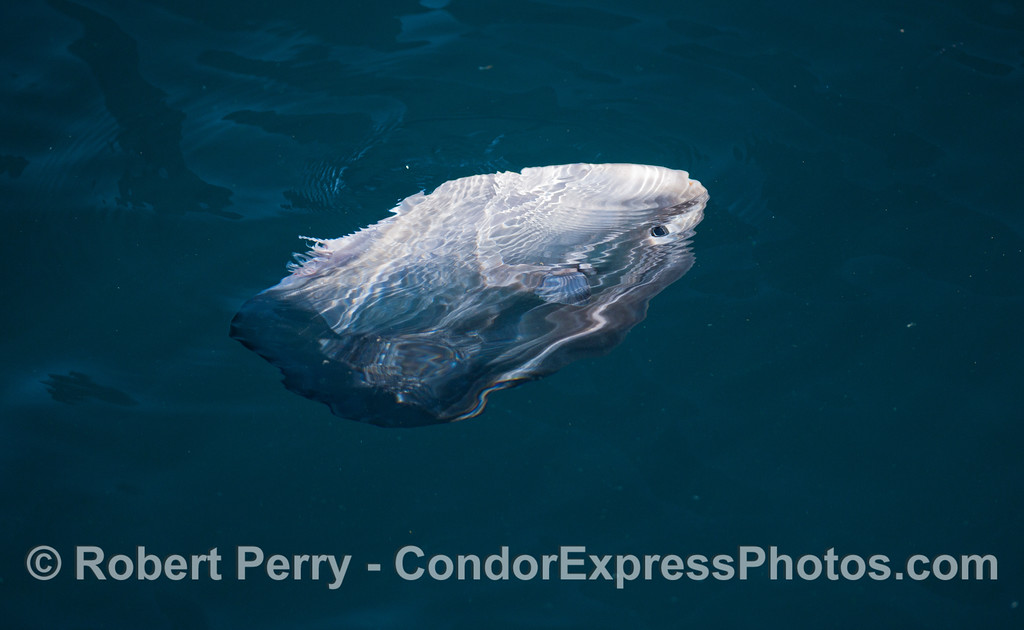 At least six Ocean Sunfish (<em>Mola mola</em>) were observed with their fins chewed off by California Sea Lions (<em>Zalophus californianus</em>) that use sunfish as frisbees.