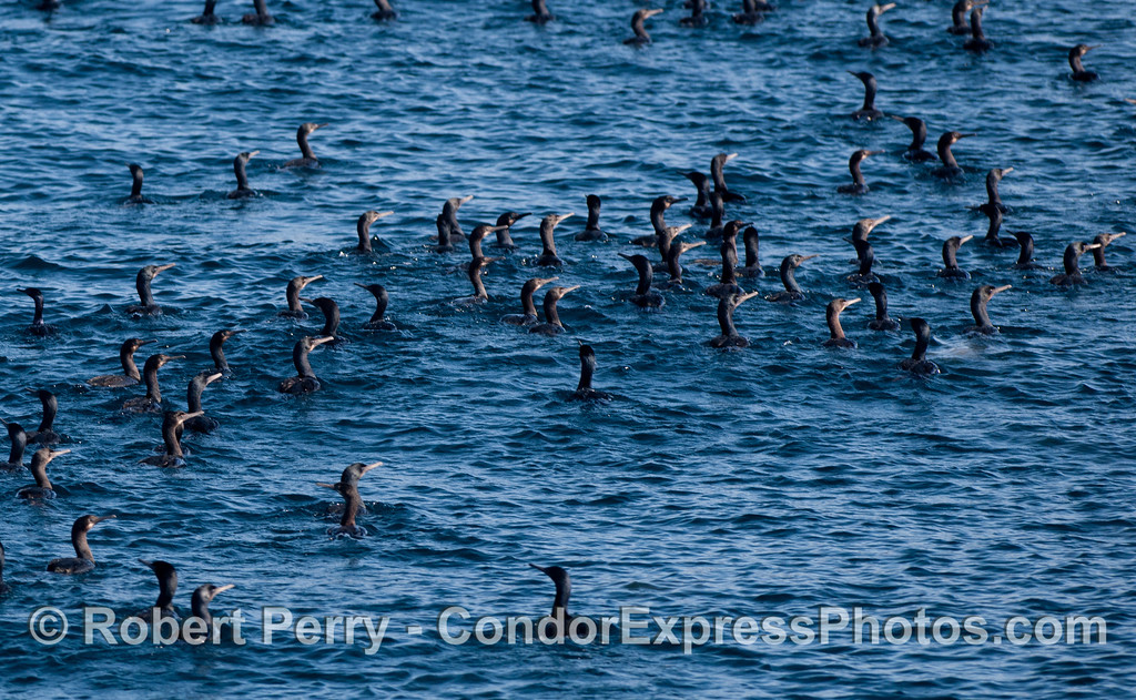 Brandt's Cormorants (Phalocrocorax penicillatus) in the Santa Cruz Channel.