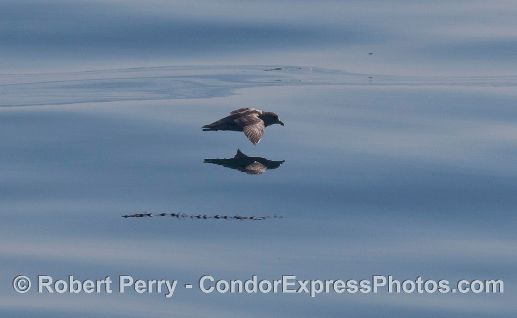 Image 1 of 3:  a Black-vented Shearwater (<em>Puffinus opisthomelas</em>) flys above glassy water.