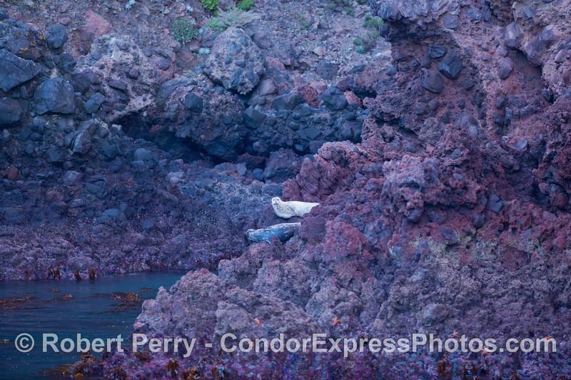 Pacific Harbor Seals (<em>Phoca vitulina</em>) hauled out on the volcanic rocks on the north face of Santa Cruz Island.