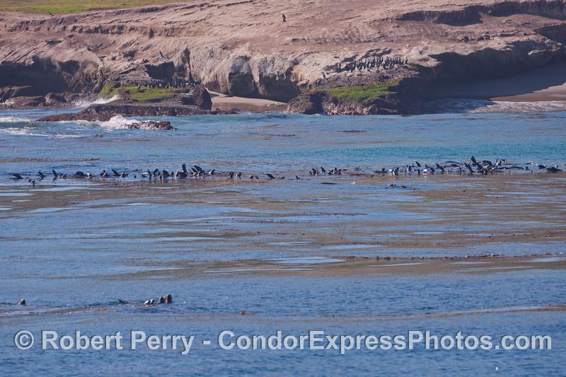 Rafts of California Sea Lions (<em>Zalophus californianus</em>) near Carrington Point, Santa Rosa Island.