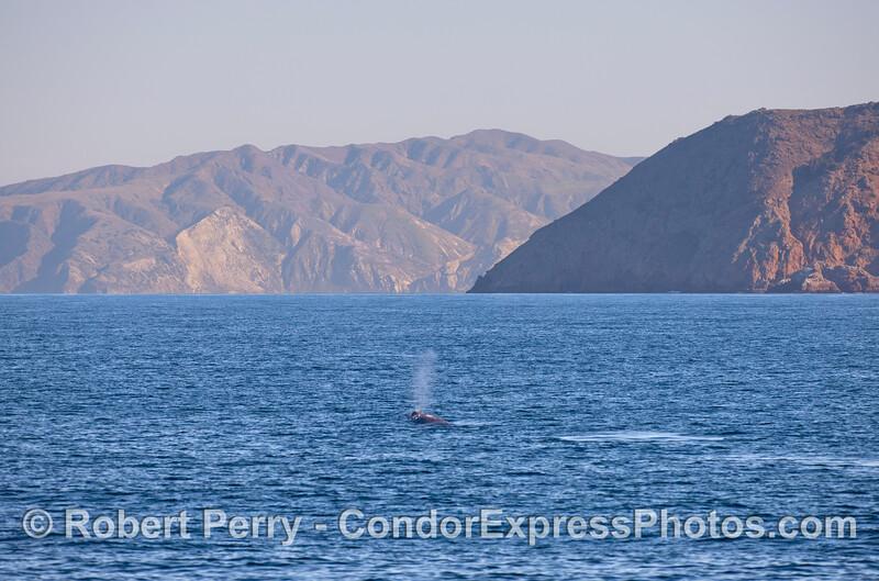 A Gray Whale (<em>Eschrichtius robustus</em>) spouts heading towards Cuevo Valdez, Santa Cruz Island.