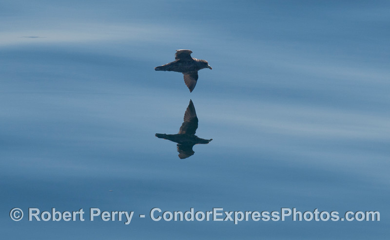Image 3 of 3:  a Black-vented Shearwater (<em>Puffinus opisthomelas</em>) flys above glassy water.