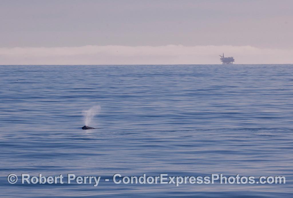 A spouting Gray Whale (<em>Eschrichtius robustus</em>) with Platform Habitat on the horizon.