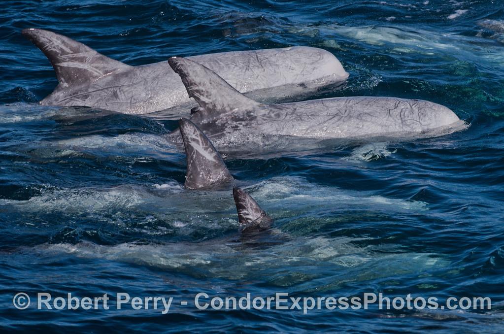 Risso's Dolphins (<em>Grampus griseus</em>).