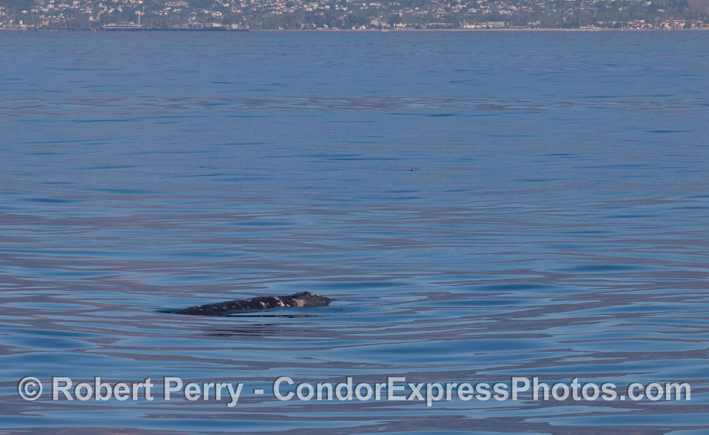 A Gray Whale (<em>Eschrichtius robustus</em>) with the Santa Barbara coastline in the background.