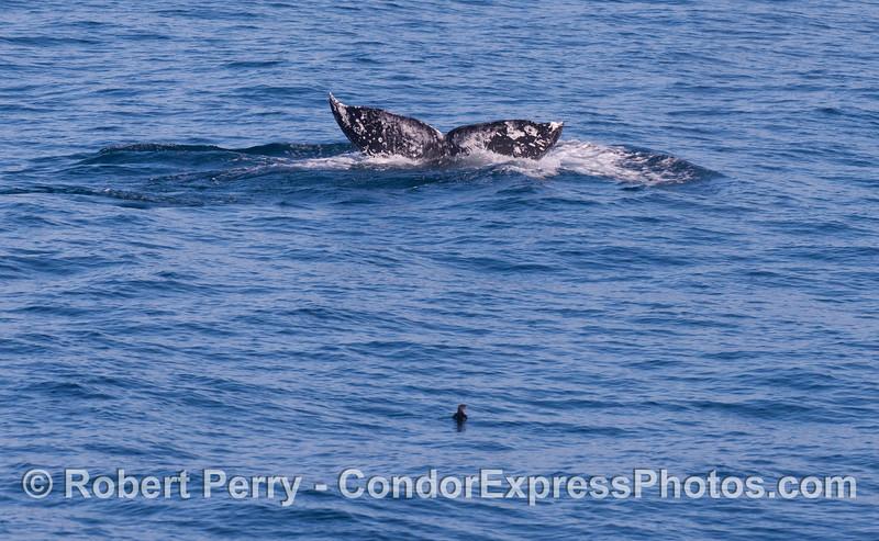 A Gray Whale (<em>Eschrichtius robustus</em>) tail fluke being watched by a tiny Rhinoceros Auklet (<em>Cerorhinca monocerata</em>).