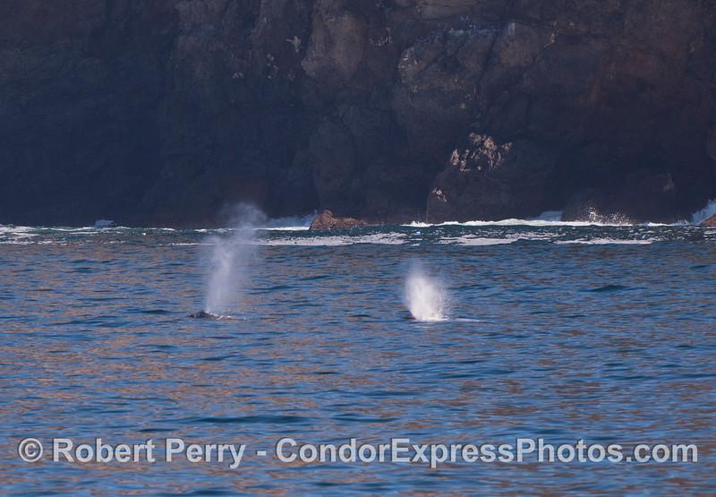 Two Gray Whales (<em>Eschrichtius robustus</em>) near the cliffs inside Chinese Harbor, Santa Cruz Island.