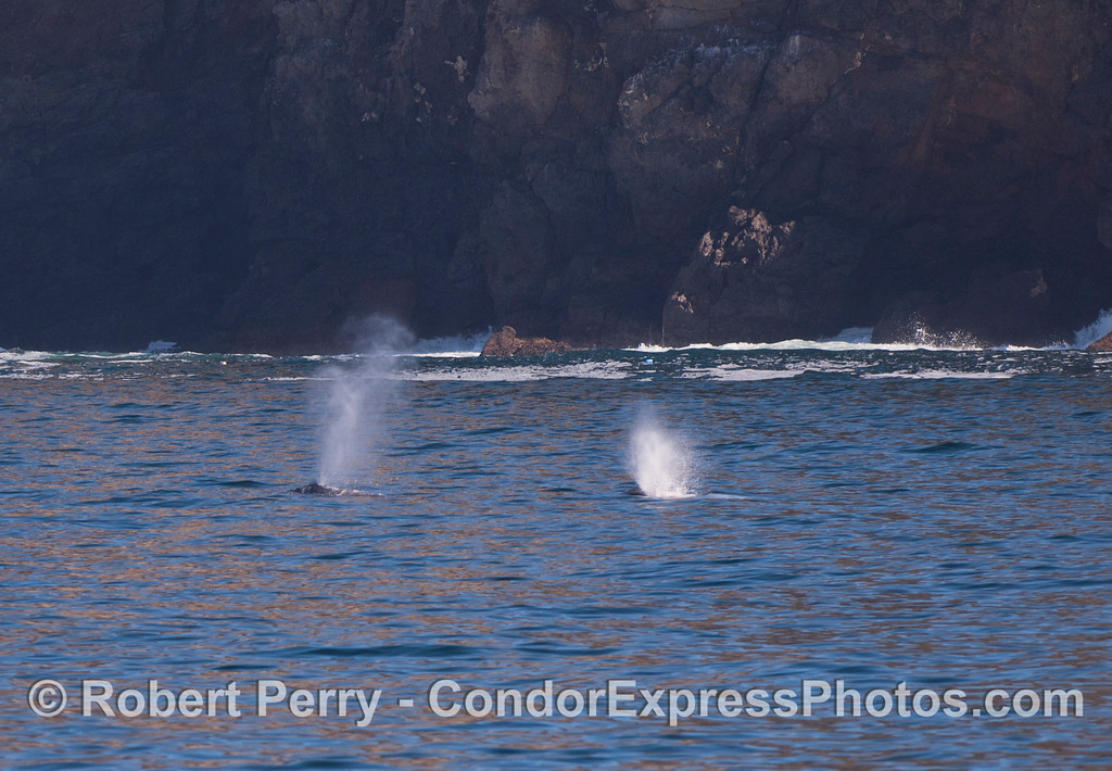 Two Gray Whales (<em>Eschrichtius robustus</em>) near the cliffs inside Chinese Harbor, Santa Cruz Island.