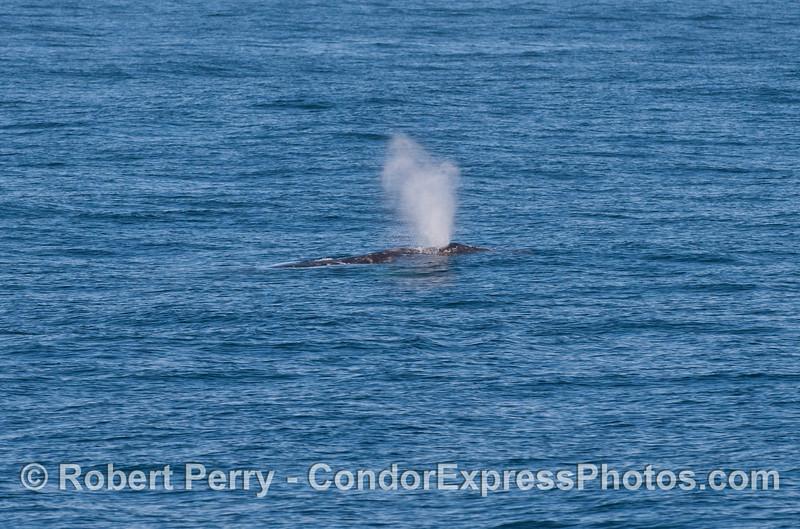 A Gray Whale (<em>Eschrichtius robustus</em>) spouts.