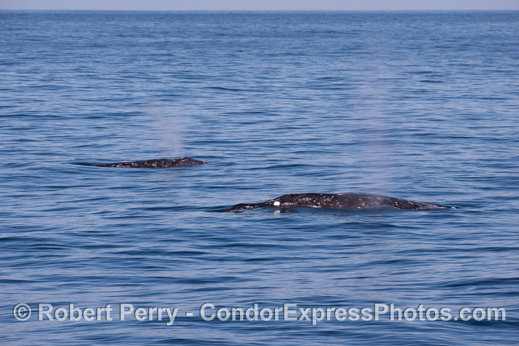 Two Gray Whales (<em>Eschrichtius robustus</em>) travel side by side.