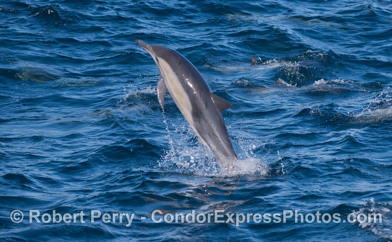 Common Dolphin (<em>Delphinus capensis</em>) leaping.