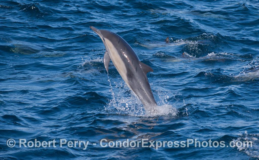 Common Dolphin (<em>Delphinus capensis</em>) leaping.