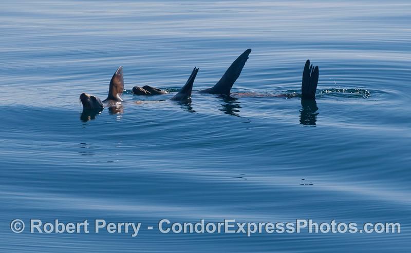 Two California Sea Lions (<em>Zalophus californianus</em>) rafting on a glassy ocean surface.