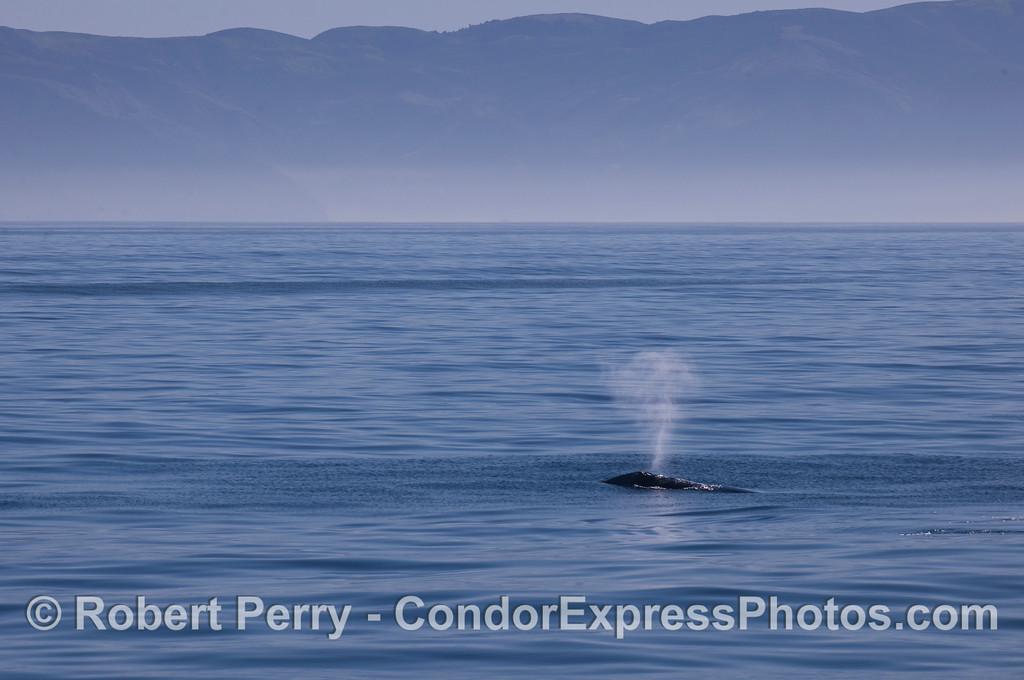 Gray Whale (<em>Eschrichtius robustus</em>) with Santa Cruz Island in back.