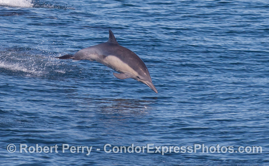 Long-beaked Common Dolphin (<em>Delphinus capensis</em>).