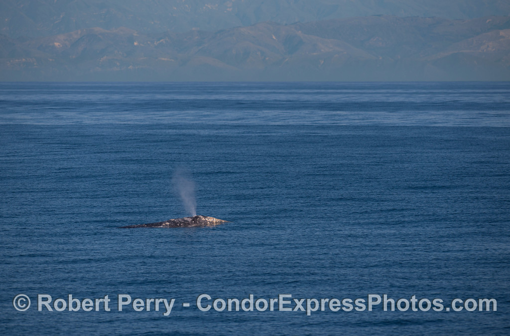 Gray Whale (<em>Eschrichtius robustus</em>) with the Santa Ynez Mountains in the back.