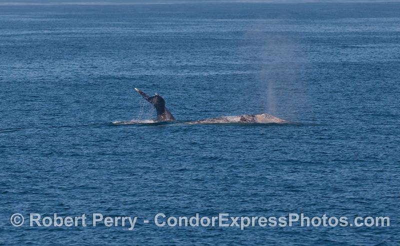 Two Gray Whales (<em>Eschrichtius robustus</em>).