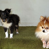 Alex young sheltie puppy with Sami