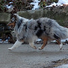 Drew, blue merle sheltie, appears to walk on air, photo taken with NIKON DX40. January 2011