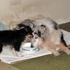 Alex tricolor sheltie giving Sybil a kiss. (2009)