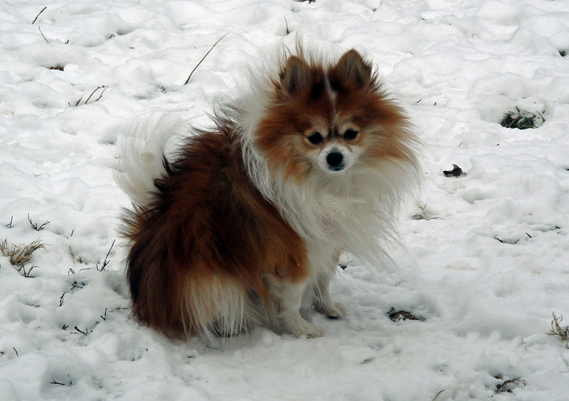 Sami pomeranian snow January 2011