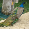 The peacocks were everywhere!