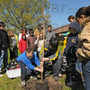 Tribune-Star/Jim Avelis<br /> Easy does it: Michael McCarter and Gabe Fisher lower an eastern Redbud tree into a hole on the front lawn of Deming Elementary School Thursday morning.