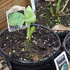 "Getting started: A ""Fat Cat"" hosta is just now pushing up through its potting soil in one of Terry O'Rourke's cold frames. Tribune-Star/Jim Avelis"
