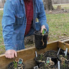 Winter 's over: Terry O'Rourke kneels by one of his cold frames where hostas are just now pushing up through the potting soil. Tribune-Star/Jim Avelis