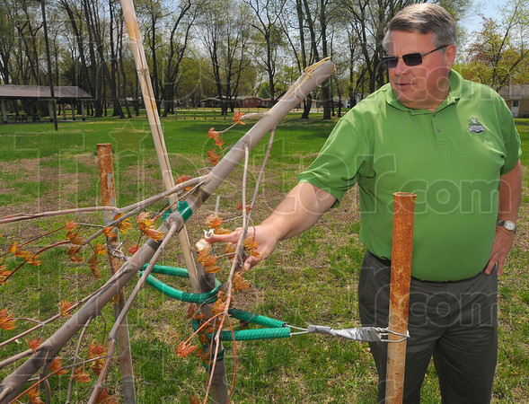 Tribune-Star/Jim Avelis<br /> Vandalized: Brian Conley, chairman of the Trees Inc. planting commitee, looks over the stump of a tree vandalizedd in Brittlebank Park Tuesday night. Four trees were sawn off about four feet off the ground.