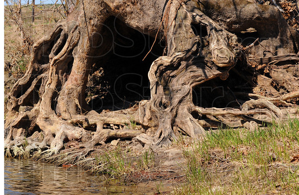 Tribune-Star/Jim Avelis<br /> Sculptured: An ancient Sycamore shows the ravages of time spent on the banks of a creek prone to flooding.