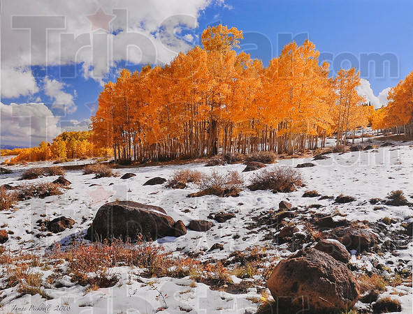 "Winner: James Pickrells' first place entry ""Aspens in Snow"" from the 2008 Trees photography contest."