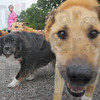 """Tribune-Star/Jim Avelis<br /> Friends: Several hundred dogs showed up with their humans for the annual """"Bark in the Park"""" fundraiser for the Terre Haute Humane Shelter."""