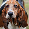 Tribune-Star/Jim Avelis<br /> How far?: Bassett hound Georgi and her human Mike Sparks were part of the Humane Society fundraiser Saturday.