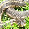 Blue eyed snake (garter) blue eyes due to loosing skin.