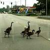 Geese crossing road in Lexington Ky