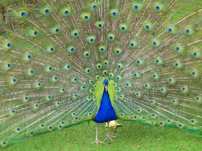Cataract Gorge peacock 3