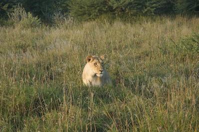 Kalahari pride - Leslie Rowley