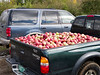 Apples in pickup truck