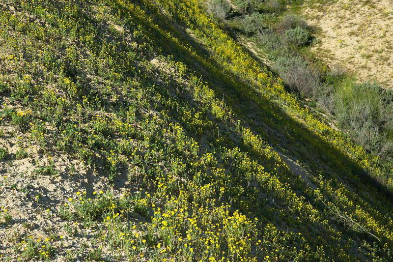 Coreopsis hillside