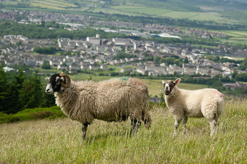 Sheep above Cleator