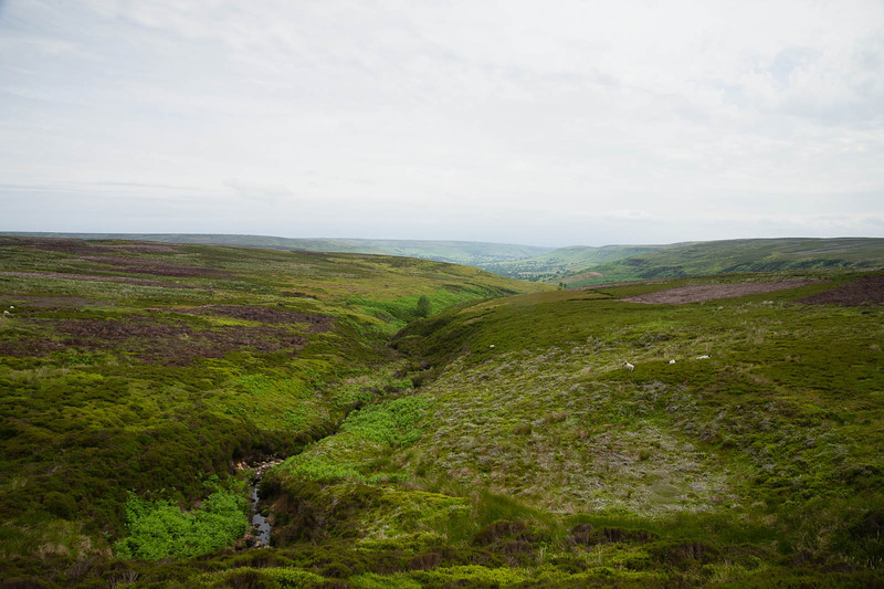 Sheep, bog and moor