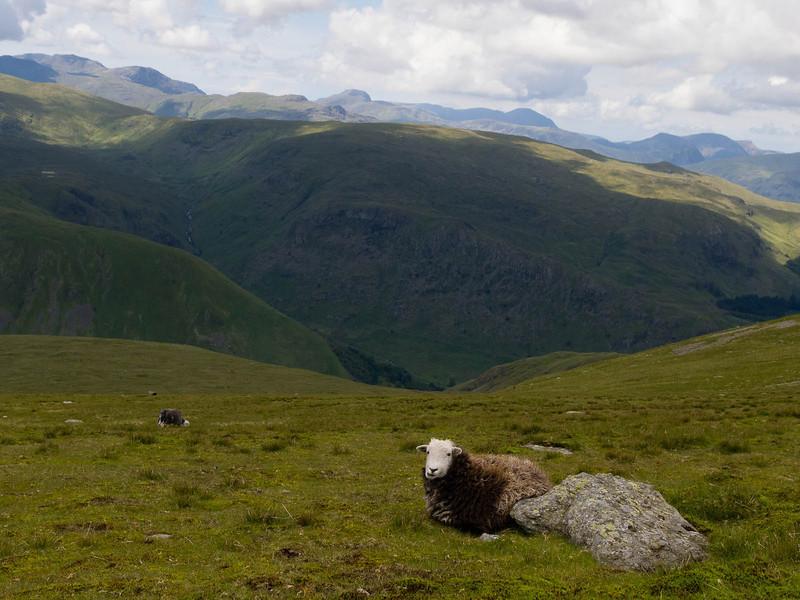Higher-altitude sheep
