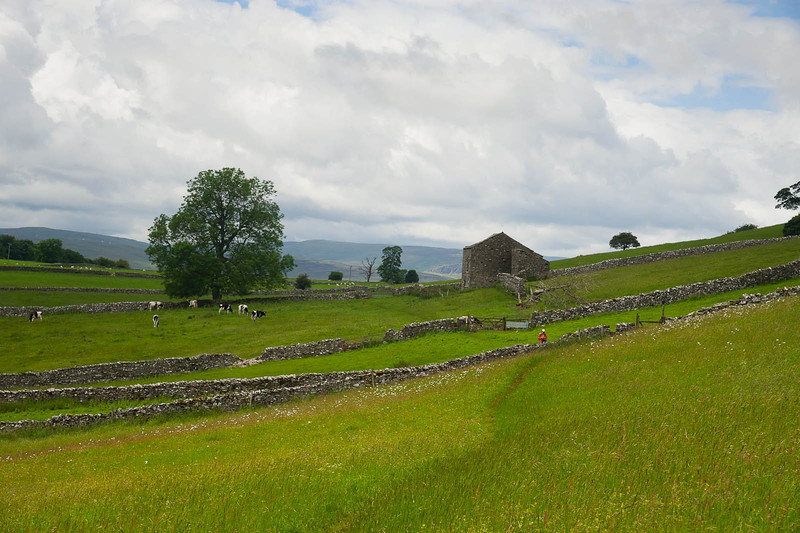 Cows and stone walls