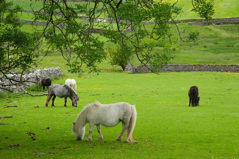 Ponies beneath an oak