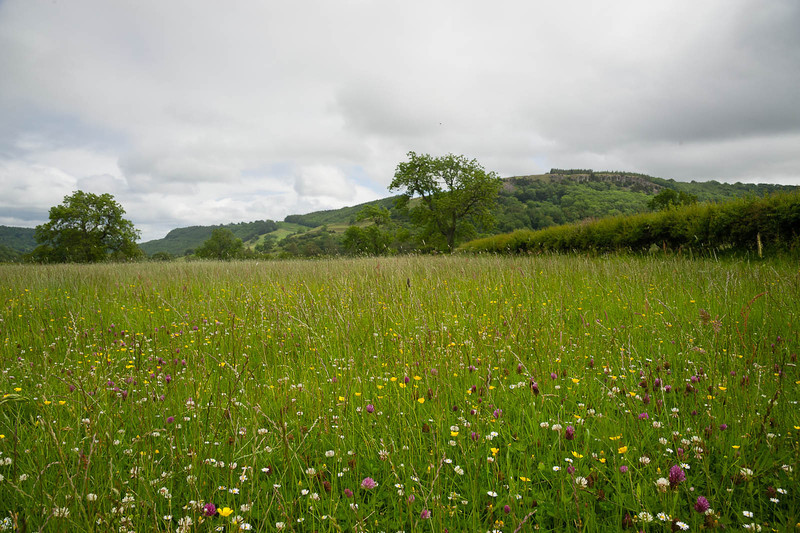 Buttercups, clover and daisies