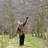Tribune-Star/Joseph C. Garza<br /> Orchard upkeep: Jerry Lehman checks the condition of his persimmon trees as he walks about his orchard Dec. 8 at his home.